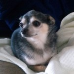 Chihuahua-Diesel-thumb